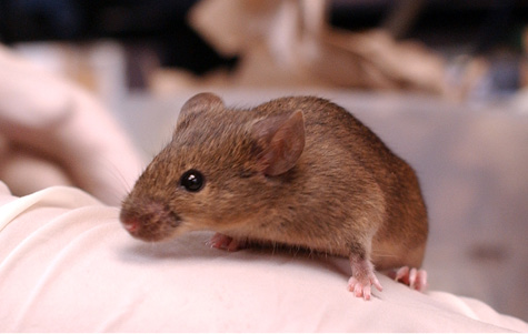 Photo of darting mouse courtesy Vanderbilt University