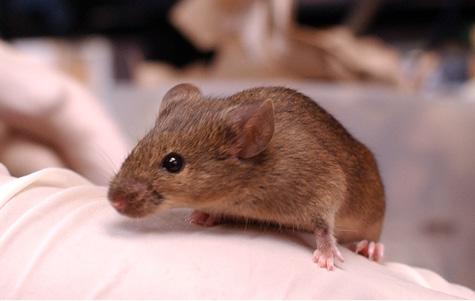 Photo of darting mouse courtesy Vanderbilt University